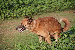 Defecate_brown_dog_Sri_Lanka.jpg