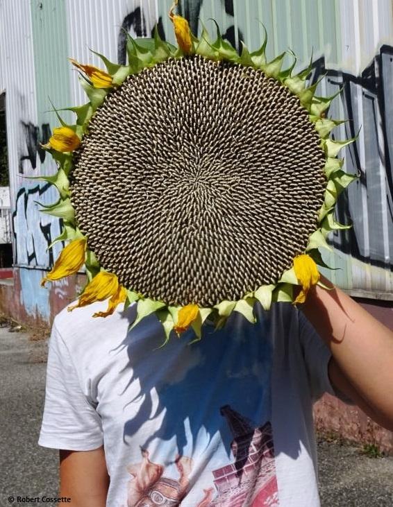sunflower-head.JPG