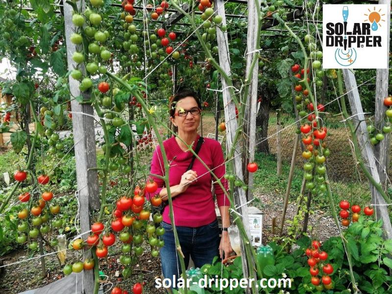 tomates-solar-dripper-26-septembre-2019.jpg