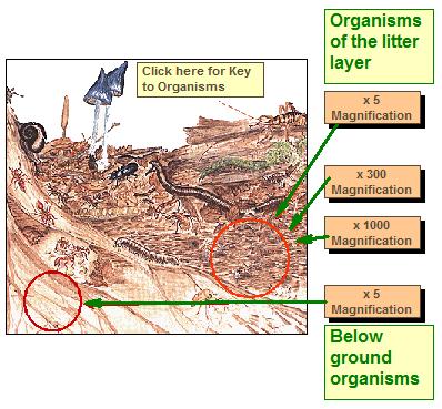 LivingOrganisms-diagram2-litterLayer.png